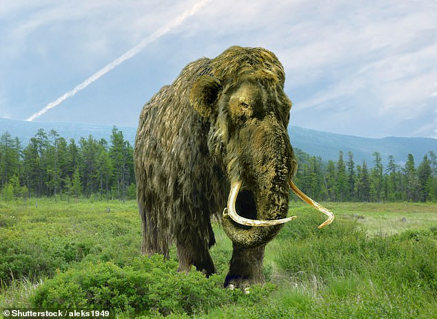 Woolly mammoths were elephant-like animals that evolved in the arctic peninsula of Eurasia around 600,000 years ago. The last mammoths died out around 4,000 years ago, after the construction of the pyramids at Giza, Egypt