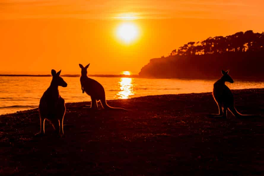 Kangaroos in Murramarang National Park