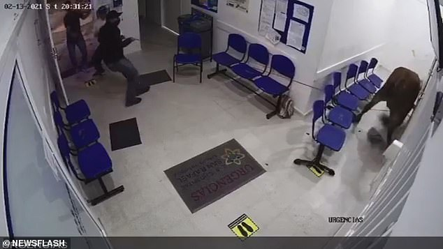 Two men are seen running into the waiting room and manage to grab the animal's lead and pull it across the room towards the exit