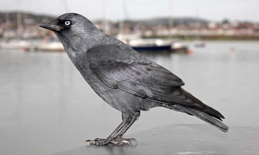 Jackdaw in Conwy harbour, Wales
