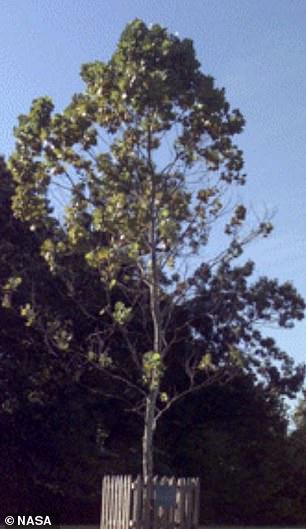 A Moon Tree sycamore at NASA's Goddard facility in Maryland