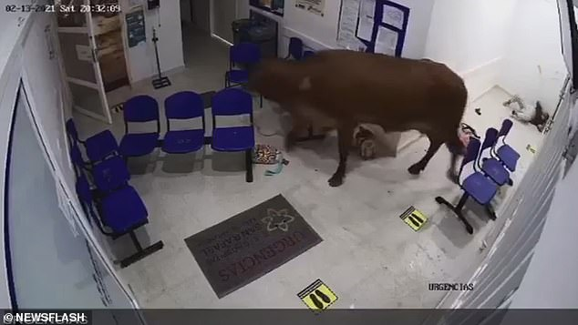 In a shocking scene, the cow charges at the woman again and appears to stand on her before one of the men rushes in and taunts the cow, resulting in the animal finally exiting the hospital