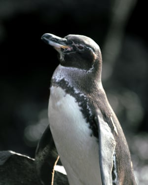 A Galápagos penguin – the only penguin found in the tropics and the endemic to the islands