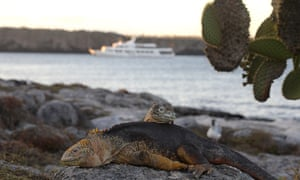 Galápagos land iguana, one of three species of the lizard on the archipelago.