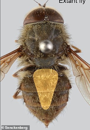 an extant Hirmoneura maculipennis, a distant relative of the fly found in theMessel Pit