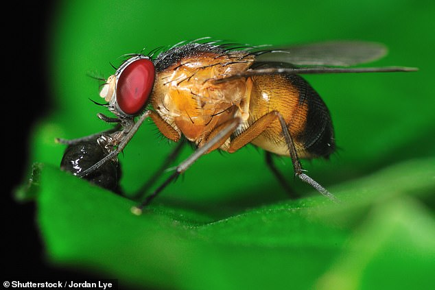 A genetic treatment has been discovered which extends the lifespan of fruit flies by as much as nine per cent. Two different therapies which target different proteins were created and found to also stave off signs of Alzheimer's (stock)