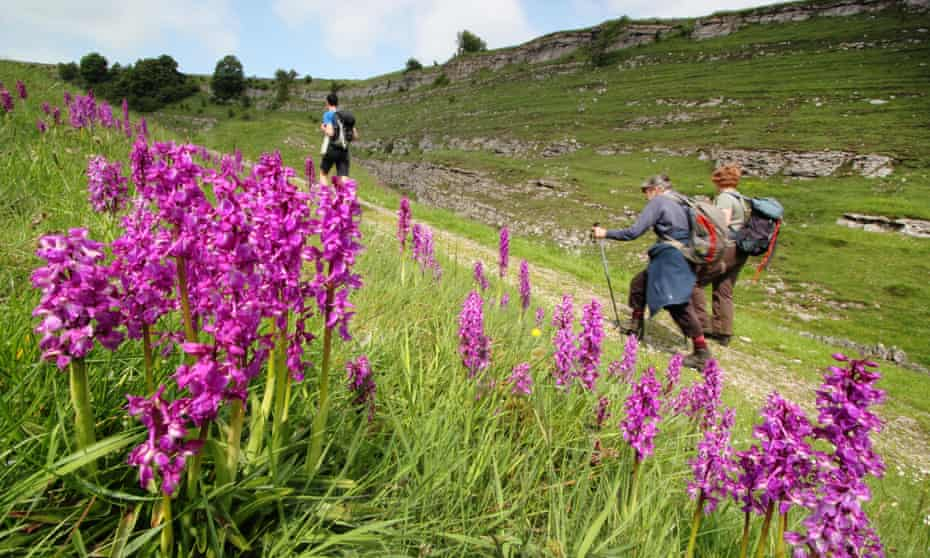 Wild orchids in Cressbrook Dale, Peak District, Derbyshire, UK on a warm spring day
