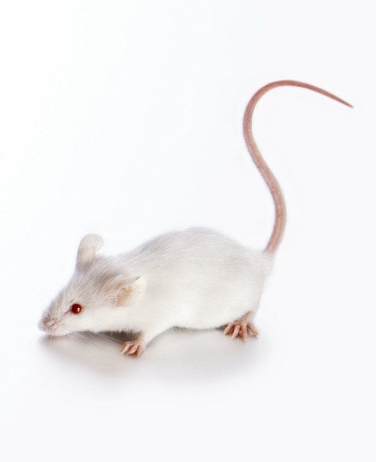 Researchers were able to reverse the effects of a high fat diet in mice (Credits: Getty Images)