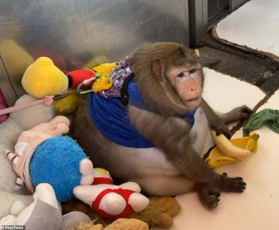 The three-year-old macaque weighs twice as much as an average macaque monkey, which normally weigh between eight and 10 kgs