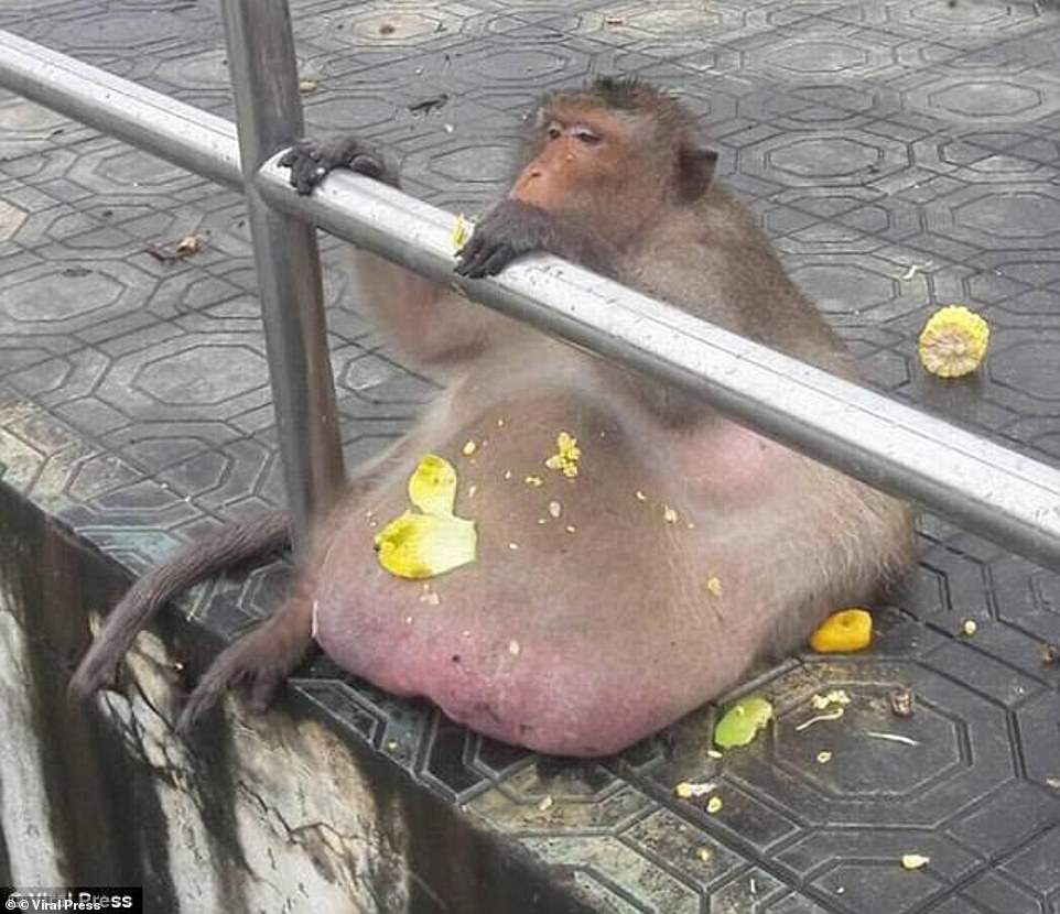 Uncle Fatty was sent to 'fat camp' but was last seen in June 2019 before going missing and is presumed dead. He tipped the scales at 27kg and was believed to be between 10 and 15 years old