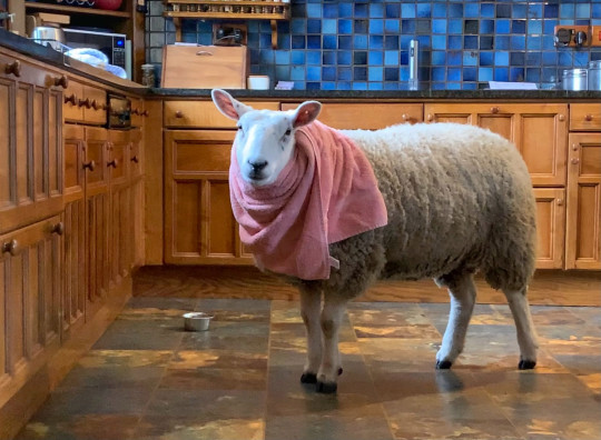 Gilly Chippendale / Caters News (Pictured Bella in the kitchen. ) - This ewe-nique sheep was rejected at birth by her mother and now believes she's a dog. Bella, the two-year-old Texel X Lleyn, prefers biscuits to grass, goes on family dog walks and even runs away from other sheep, after being rejected first by her birth mother and then by several other ewes when she was just a baby. Farmer's wife, Gilly Chippendale, took Bella into her care and since then, the friendly sheep has formed an incredible bond with both Gilly and her other pets - seven dogs and one cat - joining them on family walks and picnics and relaxing with them in their beautiful, fortified manor house in Cumbria. Barmy Bella is so convinced she isn't a sheep, she is frightened when other sheep approach her and even runs away from the rest of the herd. - SEE CATERS COPY