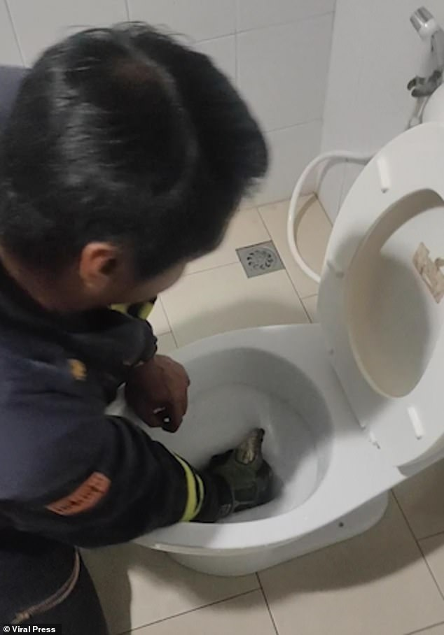 After Kaitisak grabs hold of the 8-foot python, the rest of the rescue team enter the toilet to help him remove the serpent from the pipes
