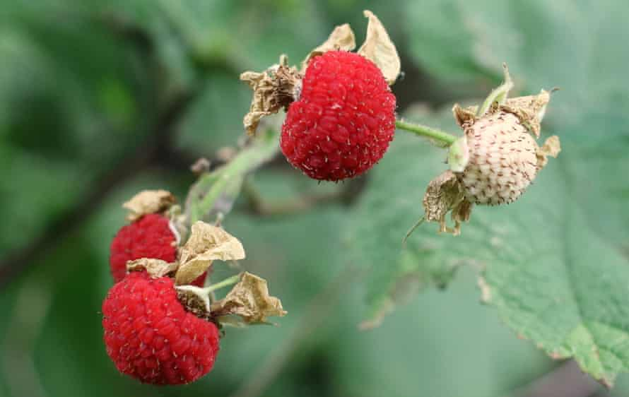 Thimbleberries on the vine, the best way to eat them.