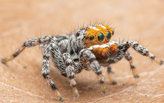 Male Maratus nemo. Schubert says in his paper: 'The new species appears to inhabit ephemeral wetland complexes on marshy vegetation in shallow water'