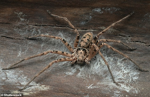 Australian spiders generally have a bad reputation - pictured here is the giant huntsman spider (Heteropoda maxima, pictured), which can reach up to a whole foot (30 cm)