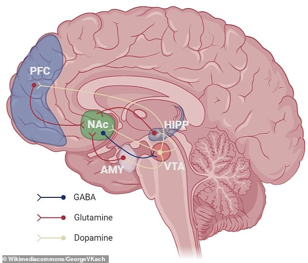 Diagram showing some of the key components of the the brain's 'reward' circuit - the prefrontal cortex (PFC); nucleus accumbens (NAc); amygdala (AMY); ventral tegmental area (VTA); Hippocampus (HIPP)