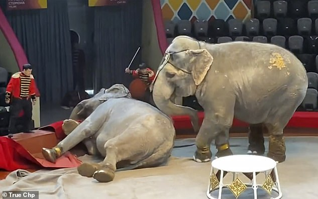 Floored: Circus trainers look on as one of the elephants is knocked to the ground during the performance in Kazan