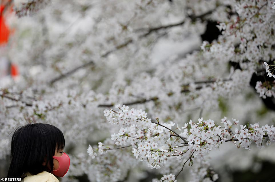 Japan's favourite flower, called 'sakura,' used to reach their peak bloom in April, just as the country celebrates the start of its new school and business year