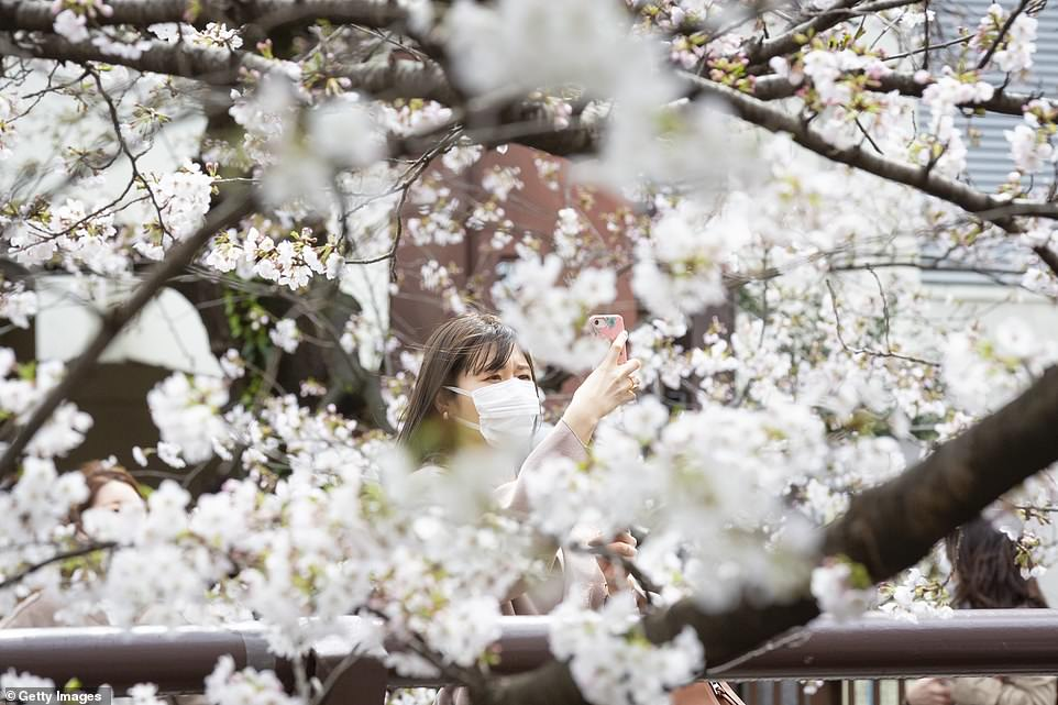 Some parts of Japan, including Hiroshima, Osaka, and Niigata, are still waiting for the cherry trees to reach peak bloom and yellow dust - airborne particles carried toJapan from deserts in China and Mongolia - has been seen instead