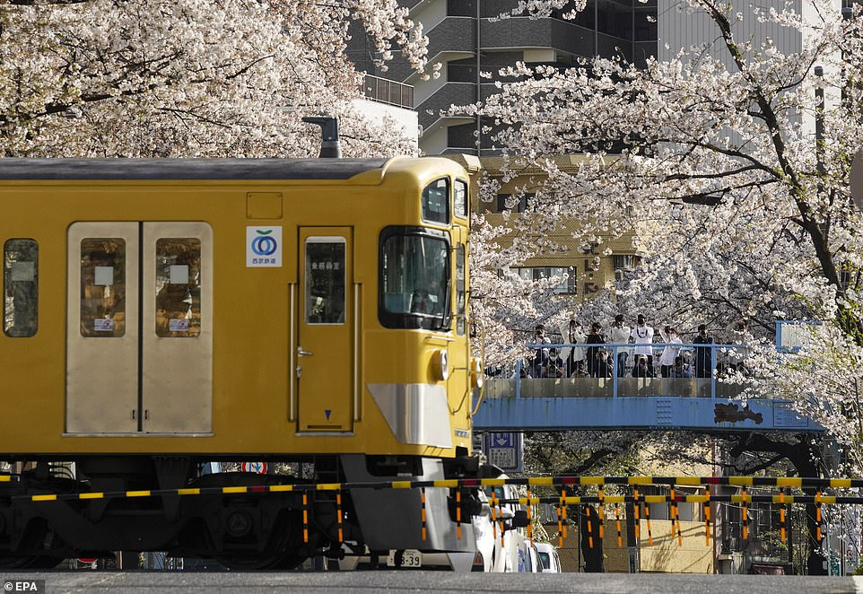 The Cherry trees normally bloom for about two weeks each year from first bud to all the blossoms falling off, normally at the start of the Japanese new year in April