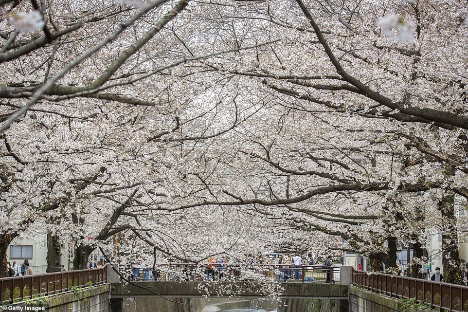 Most varieties of cherry tree produce pink or white blossom, but there are species which bloom with yellow, dark pink, or green flowers