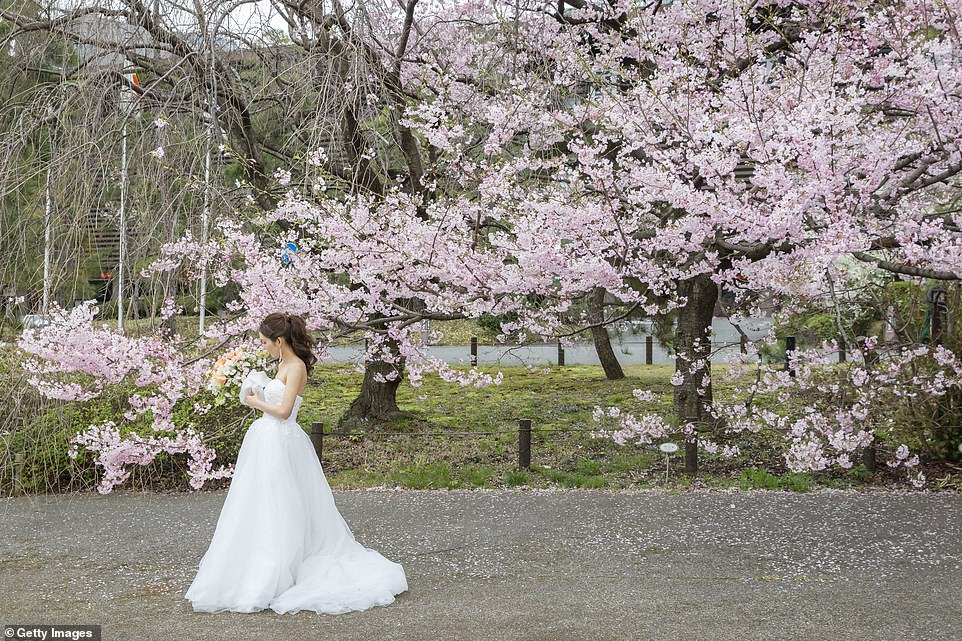 Cherry blossom season is a time for celebration in Japan as it falls just before the country's new year (pictured, a woman wearing a wedding dress poses for pictures in front of this year's bloom)