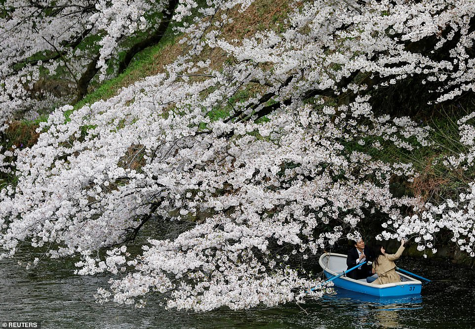 Osaka Prefecture University environmental scientist Yasuyuki Aono, who tracks such documents, said the earliest blooms he has found before this year were March 27