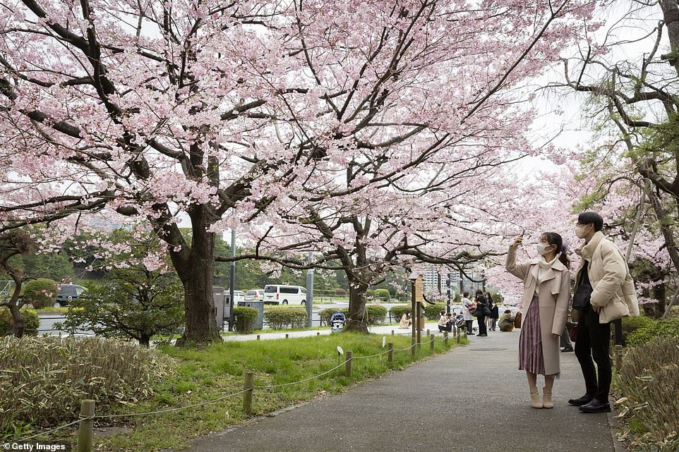 Japan's cherry trees have bloomed at a record-breaking pace this year and are currently at peak bloom across western and eastern Japan, as well as in Tokyo and Kyoto