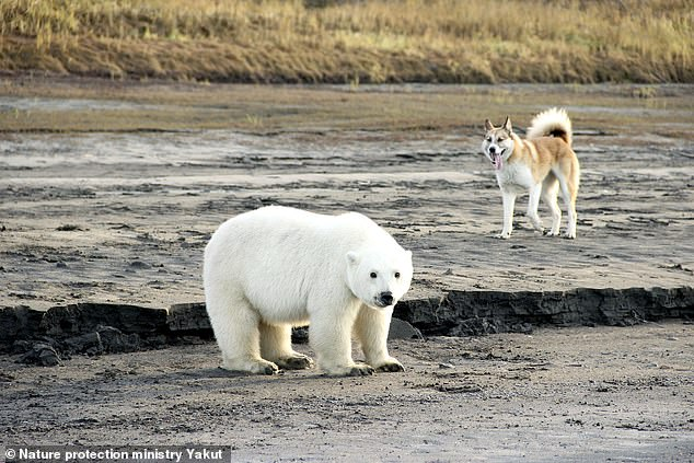 The polar bear, similar to this one,kept running towards the south on a journey that appeared to be taking it further and further away from its natural source of food