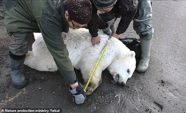 On a previous occasion, a polar bear was caught and taken to a zoo after being found some 450 miles south of Siberia's Arctic coast
