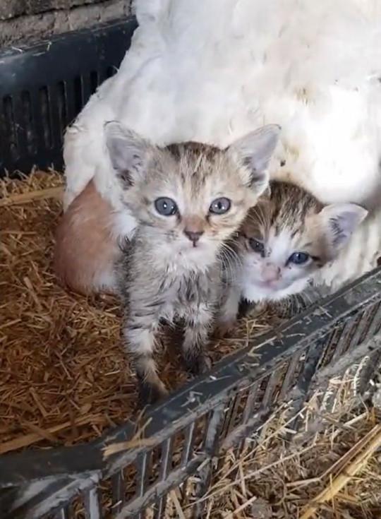 Kittens under hen