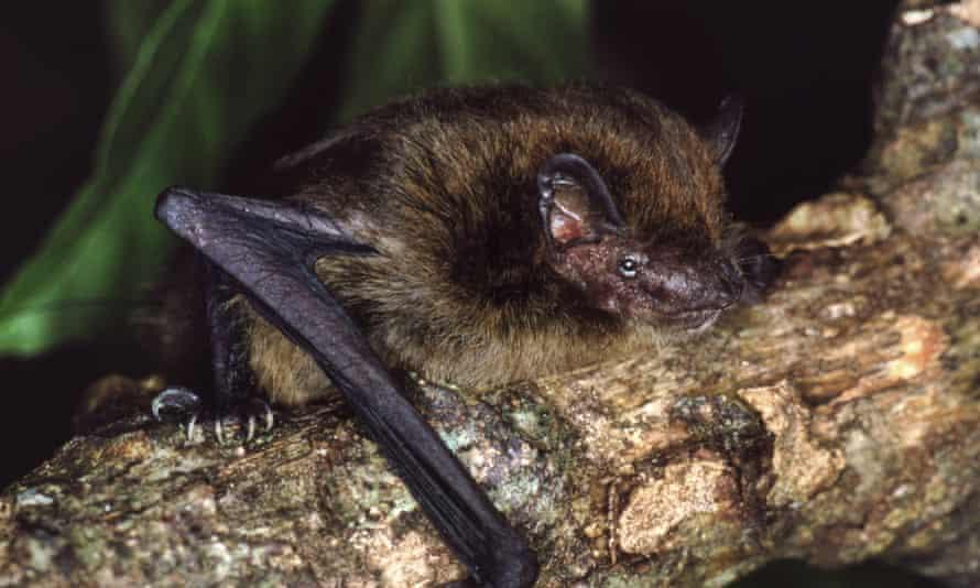 The now extinct Christmas Island pipistrelle.