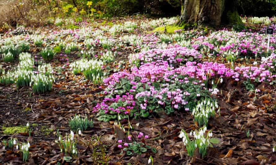 'More to spring than daffodils': cylcamen and snowdrops at Sir Harold Hillier Gardens.