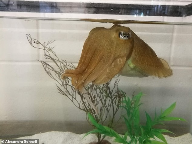 The common cuttlefish (Sepia officianalis) in the Marine Resources Center at the Marine Biological Laboratory, Woods Hole, Massachusetts