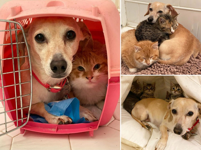 pictures of a dog cuddling foster kittens