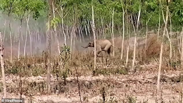 A brave baby elephant protected its injured mother by chasing away vets who arrived to help