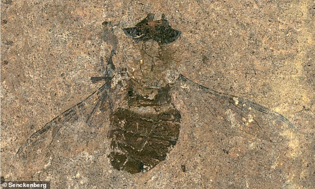 A 47-million-year old fossil belonging to a previously unknown species of fly was found at the Messel Pit in central Germany