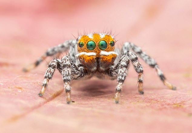 A new species of peacock spider, Maratus nemo, is described from the vicinities of Mount McIntyre and Nangwarry, South Australia (male pictured here)