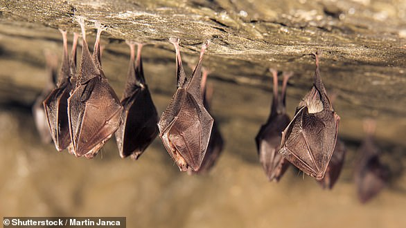Many animals practice social distancing when illness is detected in their group; Vampire bats will stop grooming sick groupmates, but continue providing food for them