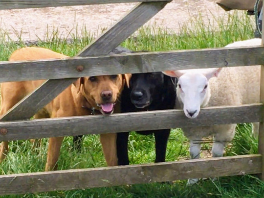 Gilly Chippendale / Caters News (Pictured Bella and the dogs hang out together outside. ) - This ewe-nique sheep was rejected at birth by her mother and now believes she's a dog. Bella, the two-year-old Texel X Lleyn, prefers biscuits to grass, goes on family dog walks and even runs away from other sheep, after being rejected first by her birth mother and then by several other ewes when she was just a baby. Farmer's wife, Gilly Chippendale, took Bella into her care and since then, the friendly sheep has formed an incredible bond with both Gilly and her other pets - seven dogs and one cat - joining them on family walks and picnics and relaxing with them in their beautiful, fortified manor house in Cumbria. Barmy Bella is so convinced she isn't a sheep, she is frightened when other sheep approach her and even runs away from the rest of the herd. - SEE CATERS COPY