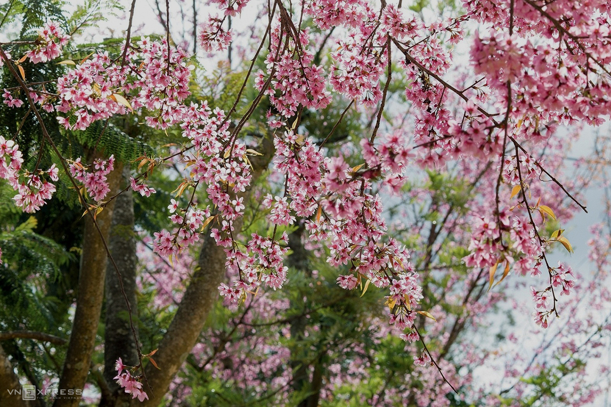 Cherry blossom in Da Lat Town in Lam Dong Province. Photo by VnExpress/ Tran Ngoc Anh.
