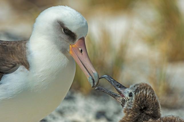 Laysan Albatross, Phoebastria immutabilis, is a large seabird that ranges across the North Pacific. Feeding its chick. Papahnaumokukea Marine National Monument, Midway Island, Midway Atoll, Hawaiian Islands