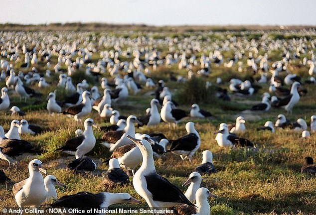 The septuagenarian seabird gave birth again last month on the breeding habitat of Midway Atoll (pictured), a tiny island in the north Pacific, some 1,300 miles from Hawaii