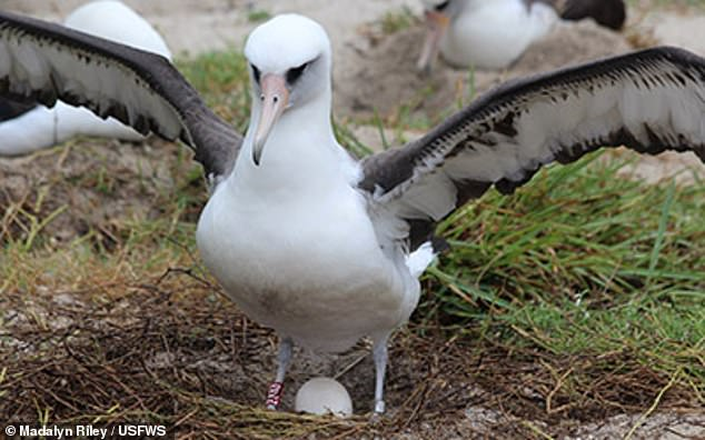 Laysan albatrosses ¿ named for one of the main islands on which they breed ¿ are relatively small gull-like albatrosses that can be found in the north Pacific. Pictured: Wisdom brooding an egg on Midway Atoll back in 2018