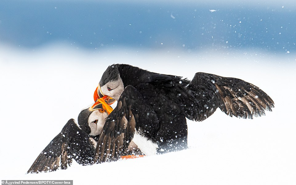 A pair of Atlantic puffin were pictured battling during breeding season in the snow on the Hornøya bird cliff in Norway