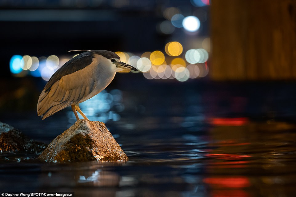 A black-crowned night heron is pictured on a fishing perch on the harbour-front in Wanchai, Hong Kong. Photographer Daphne Wong said the bird is used to the presence of humans and kept its red eyes stayed fixated on the streetlight-lit water, looking for its next meal