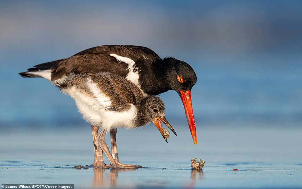 A young oystercatcher captures a small crab with its mother on Lido Beach, New York. Photographer James Wilcox said the youngster is old enough to forage but still relies on its parents for food because its beak hasn't developed the strength yet to open the shells of mollusks and crustaceans