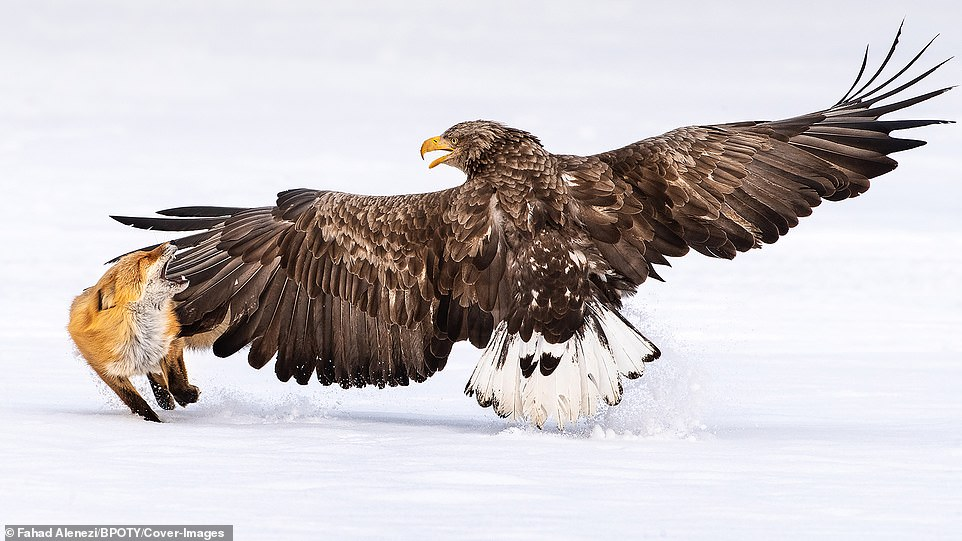 A white-tailed sea eagle was pictured hitting a fox with its wings after it entered the bird of prey's territory in Rausuu, Japan, by photographer Fahad Alenezi