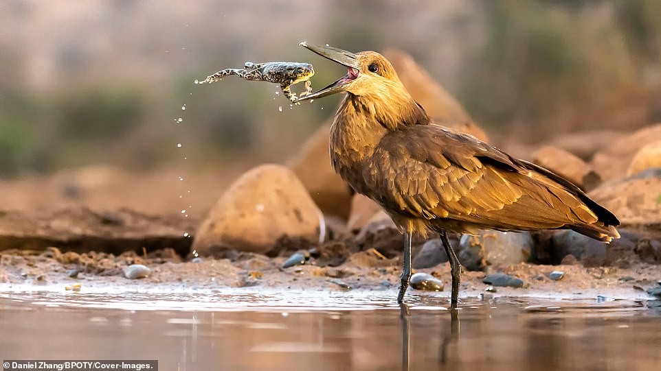 A Hamerkop was pictured catching a leaping toad mid-air in the Zimanga Private Reserve, South Africa, by Daniel Zhang. The bird then threw its prey into the air multiple times so it would hit the ground and be killed