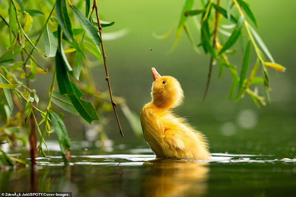 A duckling chases a small fly on a pond in Stromovka city park, Prague, Czech Republic